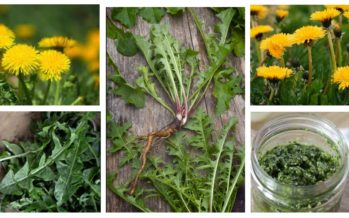 DANDELION'S therapeutic qualities – help against a hundred ailments!