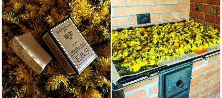 Eco-friendly Scandinavian blogger praises the dandelion, widely spread in the Nordic countries, for its great might