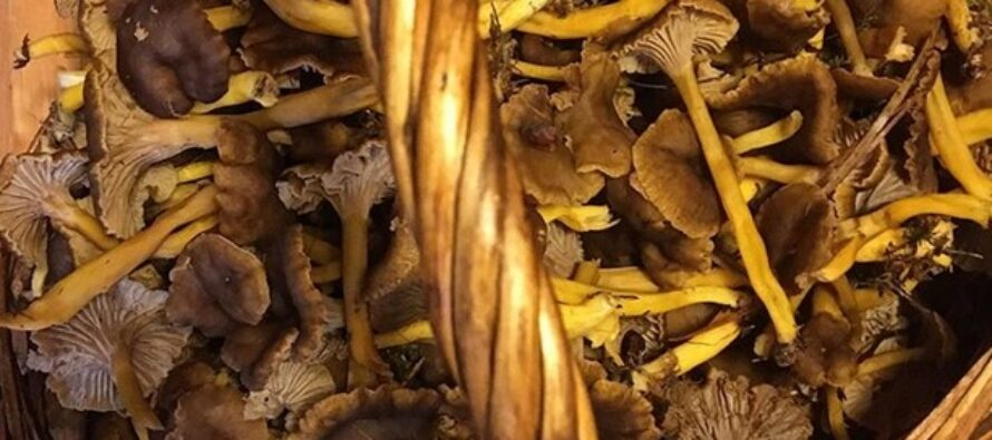 WHAT are funnel chanterelles and how to store them for winter?